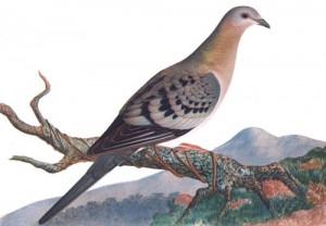 Passenger-Pigeon-300x208